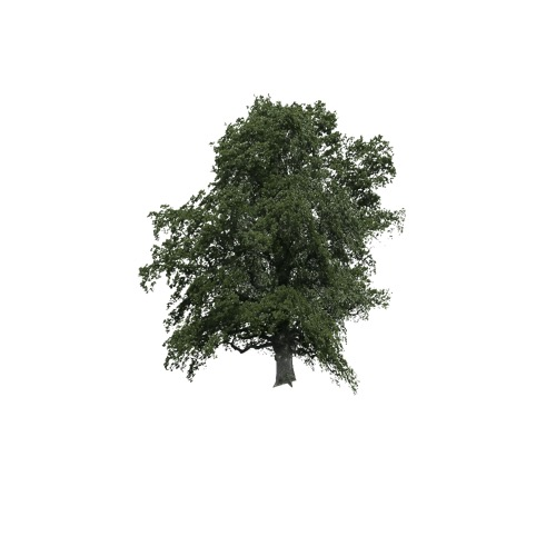 Screenshot of Tree, Acer (Maple), 8m