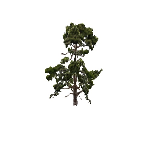 Screenshot of Tree, Pinus (Pine), 11m