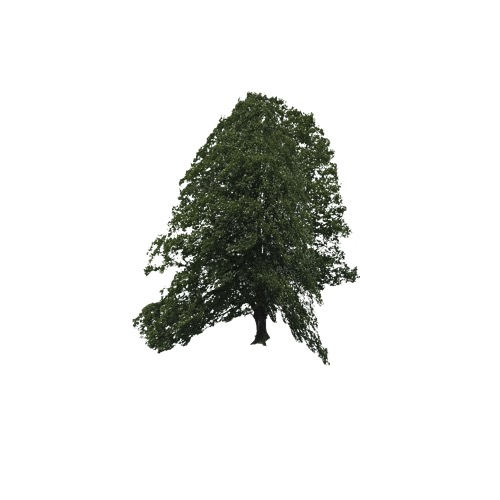 Screenshot of Tree, Quercus (Oak), 6m